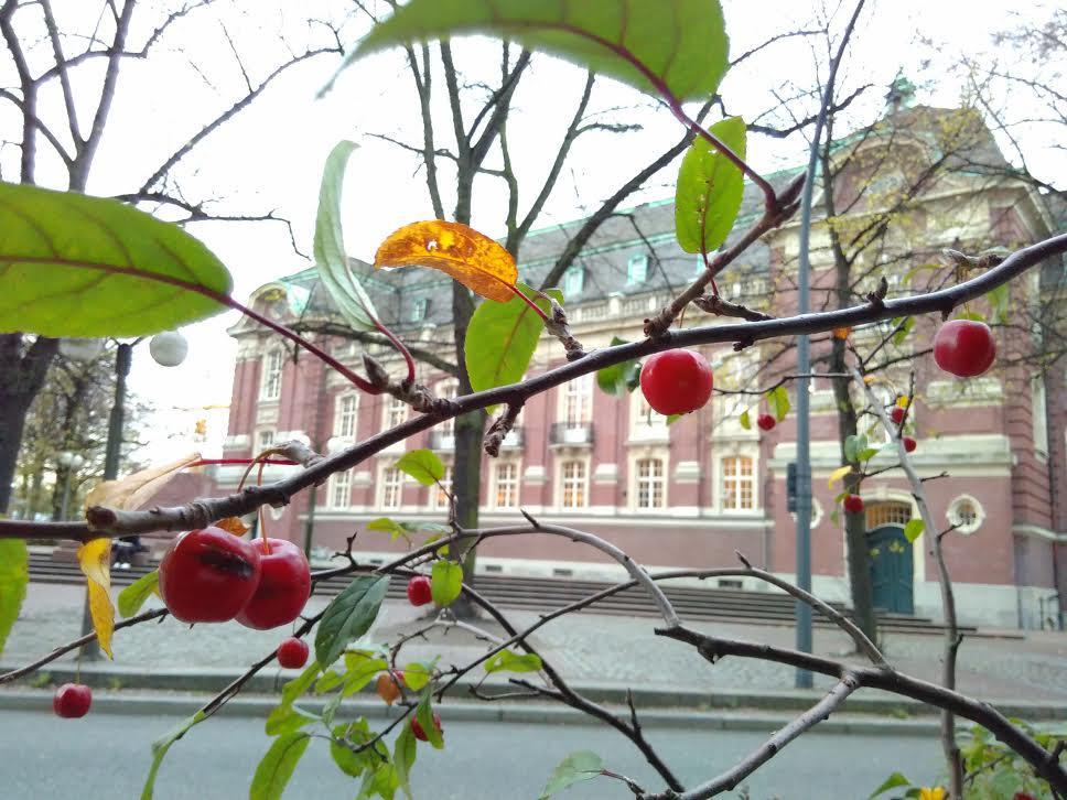 Welcher (Hobby-)Botaniker kann dieses Rätsel lösen? Im November trägt ein Busch vor der Laeiszhalle Kirschen – oder etwas, das so aussieht?!