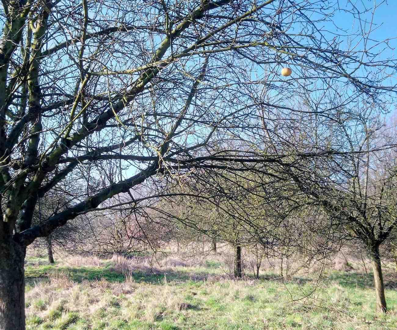 Auf der Wilhelmsburger Elbinsel. Was den Apfel wohl noch am Baum hält? Sturheit? Vergesslichkeit? Trotz? Höhenangst?