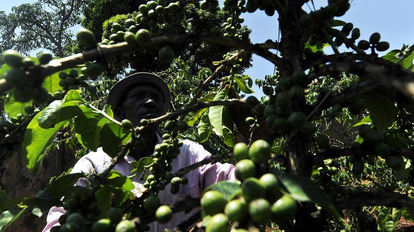 Kaffeepflanzen, Ostafrika