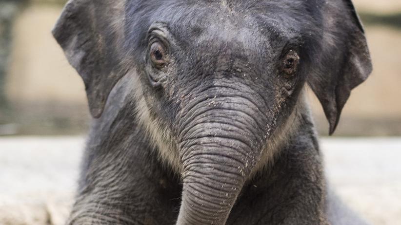 Elefanten: Sanfte Killer