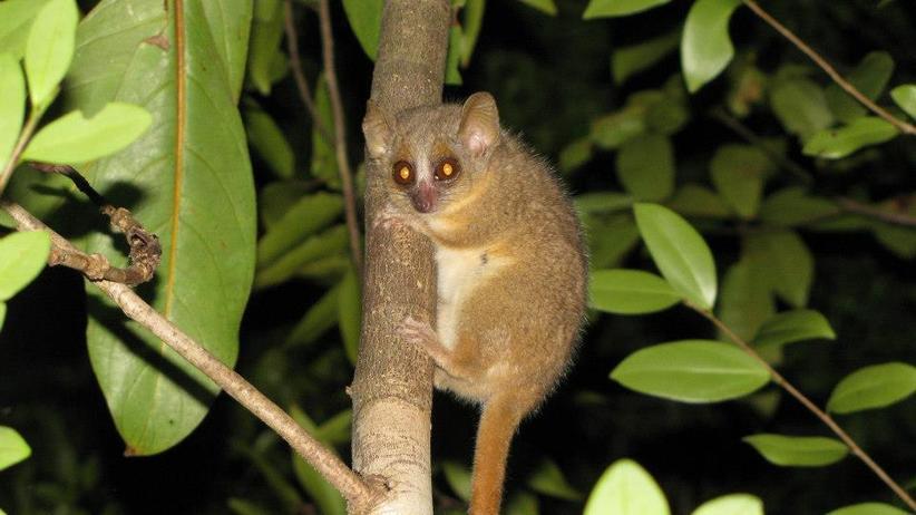 Microcebus ganzhorni: Groß wie eine Maus, Einzelgänger und nachtaktiv: der Ganzhorni-Affe