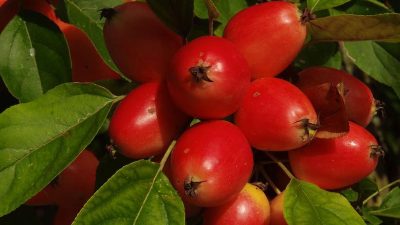 Zieräpfel am Baum