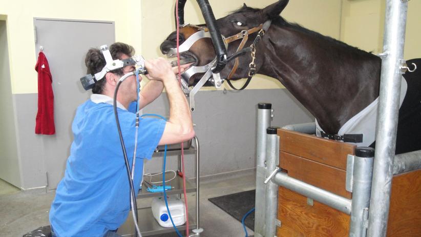 Pferdezahnarzt: Zahnpflege für den Schimmel