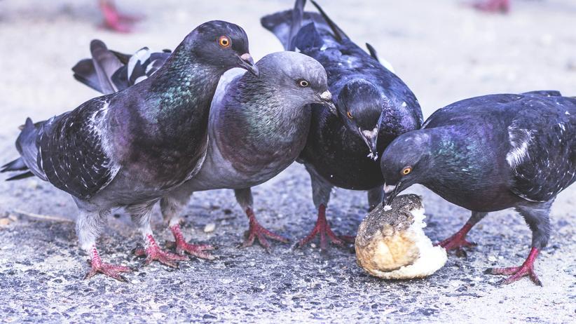 Tauben: Tauben mögen Körner, die gibt's aber kaum in der Stadt. Zur Not nehmen sie eben mit Döner und alten Brötchen vorlieb.