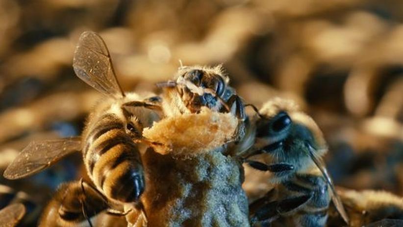 Königin Biene More than Honey