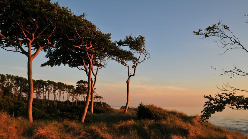 Reiseziele in Deutschland: Vom Wind gebeugte Kiefern oberhalb des Ostseestrandes