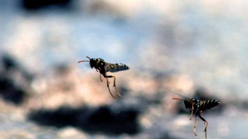 Antonio Negri: Sexbetrug: Wissenschaftler fanden heraus, dass sich männliche Wespen von einer bestimmten Art der Orchidee verlocken lassen – denn diese duftet wie eine weibliche Wespe
