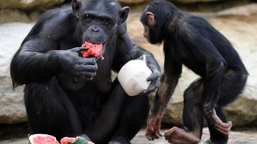 Schimpanse mit Wassermelone