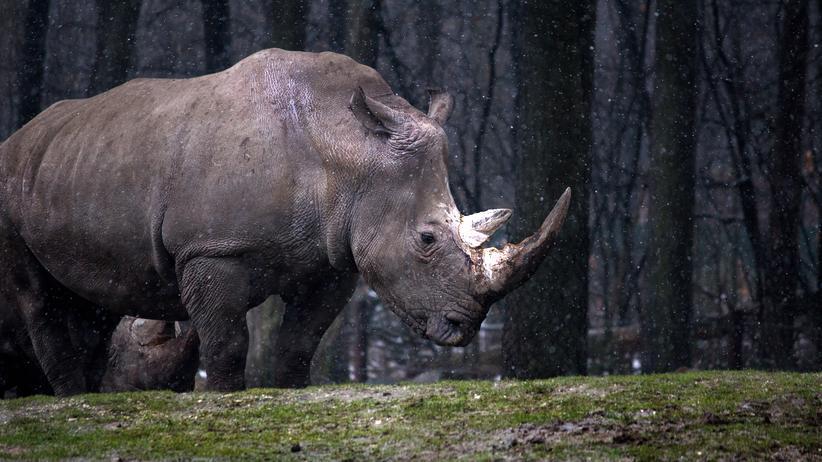 Natur: Ein Nashorn, ohne Albrecht Dürers dekorativen Kringel