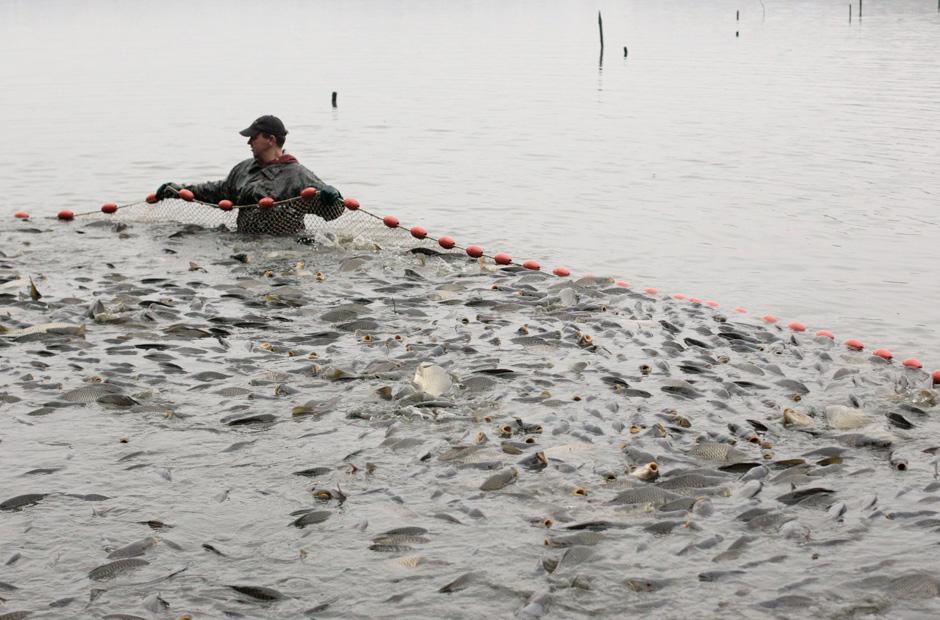 Tausende Fische passen in diese traditionellen Karpfennetze.