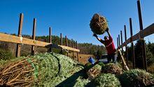 North Carolina: Ein Weihnachtsbaum für die Obamas
