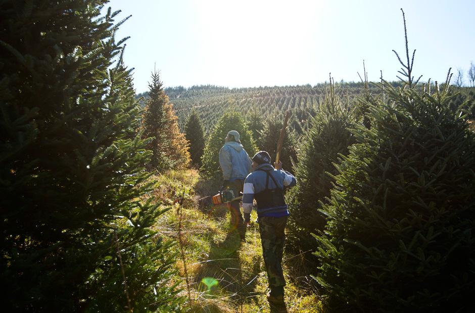 Zwei Arbeiter halten Ausschau nach markierten Bäumen, die gefällt werden sollen.