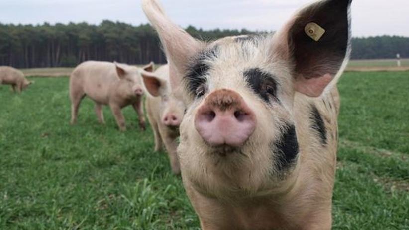 Fleischkonsum: Das Schwein bestimmt das Bewusstsein