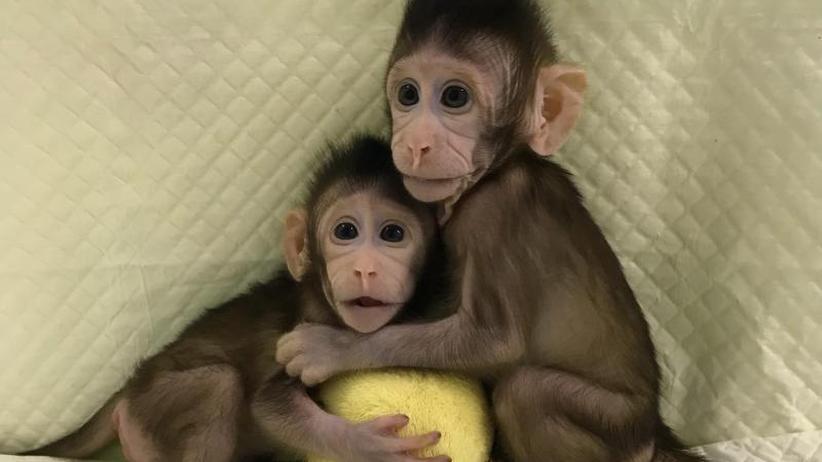 Nach Dolly-Methode: Chinesische Forscher erzeugen erstmals Klonäffchen