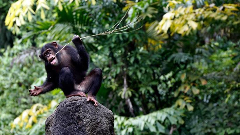 Kaum Bakterien von der Haut: Schimpansen schlafen überraschend sauber