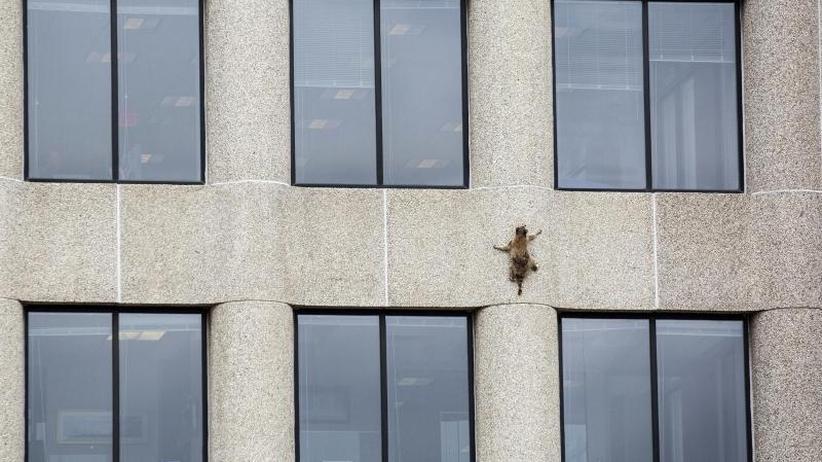 #mprraccoon: Waschbär klettert 23 Stockwerke an Büroturm auf und ab