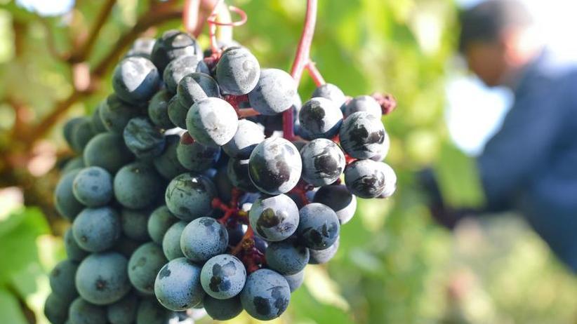 Bereits Mitte August: Fachleute erwarten besonders frühe Weinlese