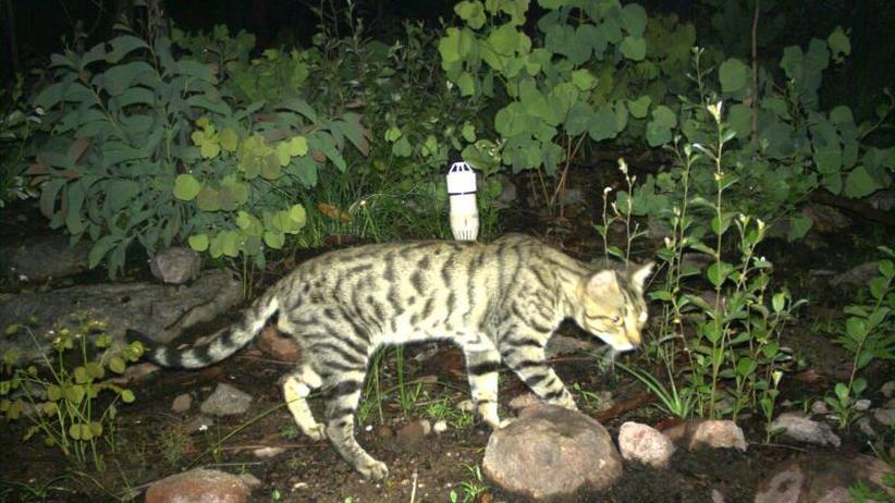 Rote Liste: Verwilderte Hauskatzen bedrohen Minidrachen