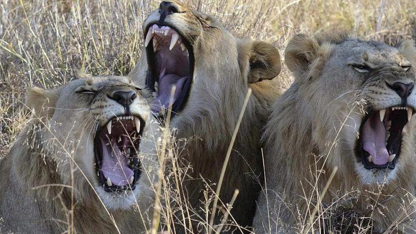 Im Wildtierreservat: Löwen in Südafrika fressen mutmaßliche Nashorn-Wilderer