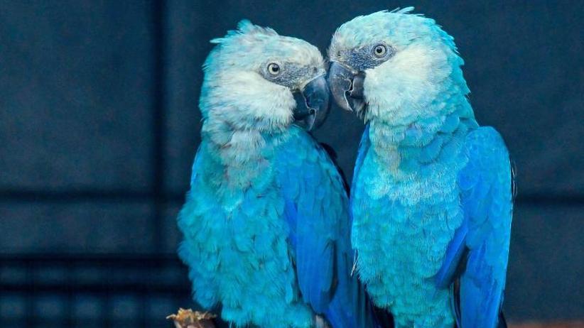 Mindestens acht Vogelarten: Experten: Vögel sterben derzeit vor allem in Südamerika aus