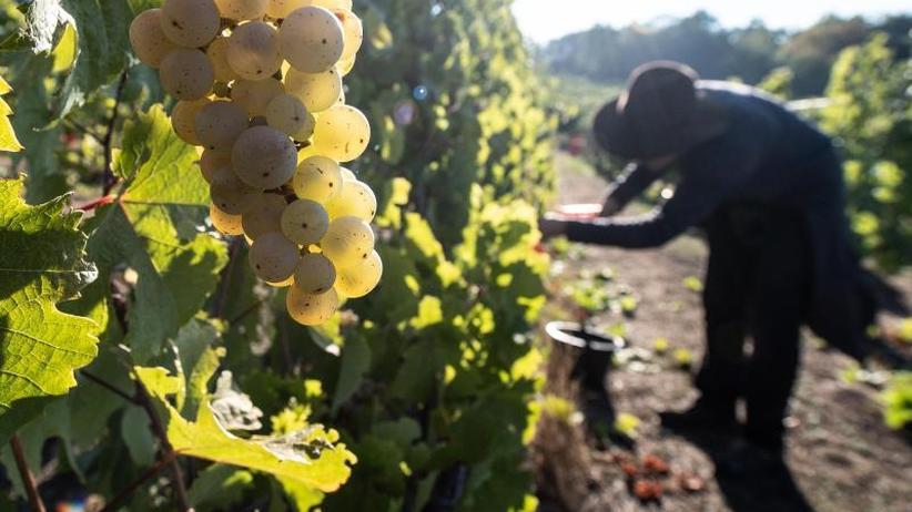 9,75 Millionen hl erwartet: Günstiges Wetter beschert Winzern gute Weinernte