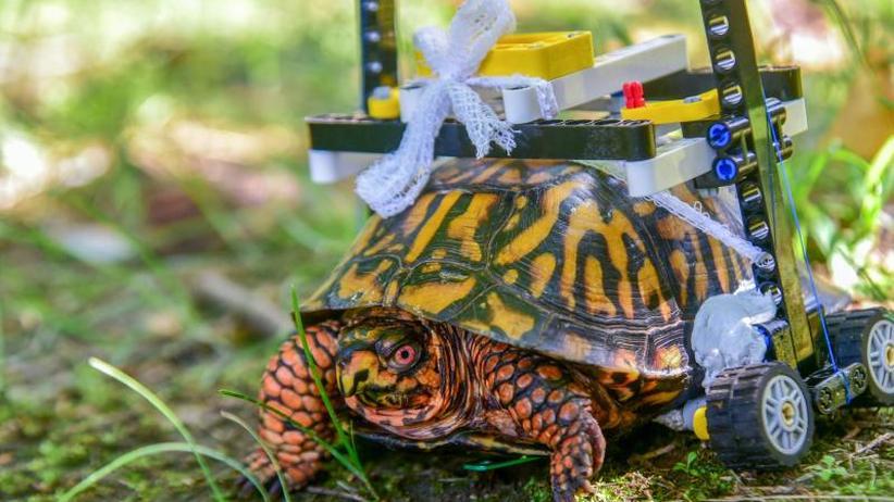 Nach der OP: Schildkröte mit Lego-Rollstuhl in Zoo-Klinik unterwegs