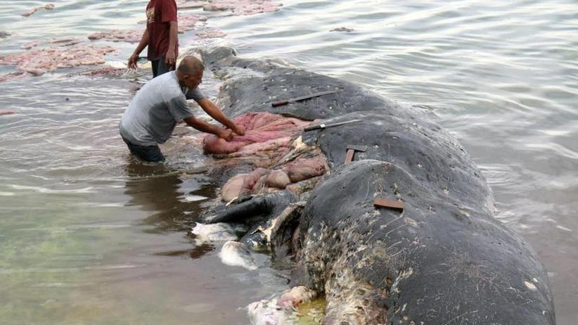 Verschmutzung in den Ozeanen: Toter Wal mit sechs Kilo Plastik im Bauch gefunden