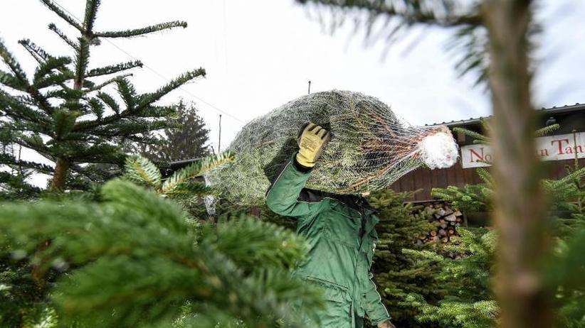 Preise stabil: Weihnachtsbaumverkauf läuft an