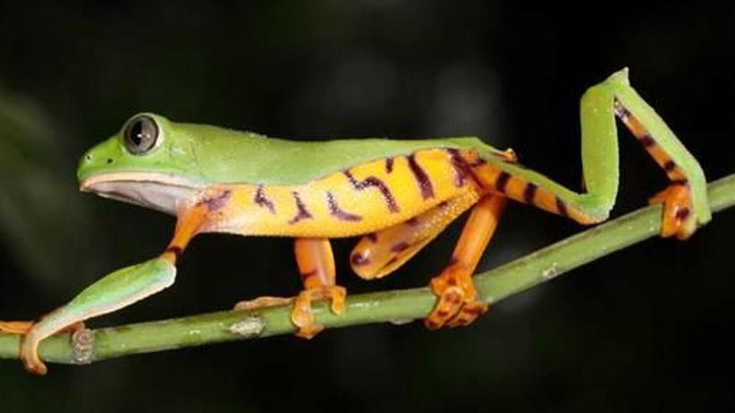 Biodiversität: Ein bedrohter Schatz: Die enorme Frosch-Vielfalt von Ecuador