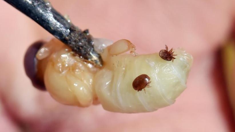 Schrecken eines jeden Imkers: Varroamilbe schadet Bienen anders als angenommen