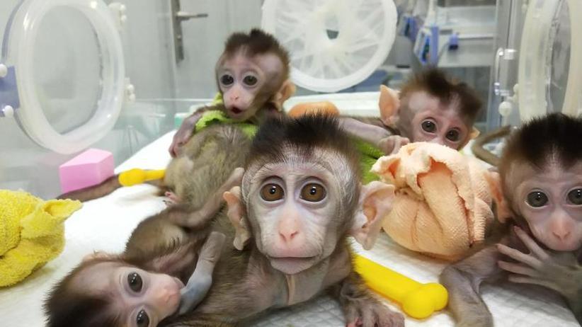 Absolut identisches Erbgut: China klont erstmals genveränderte Affen