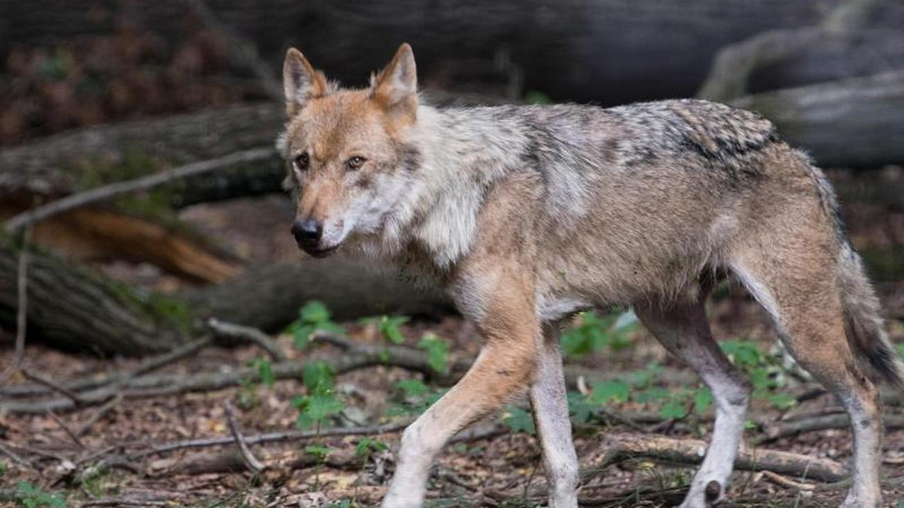 Less Hunting and Humans: Study: Wolves like to choose