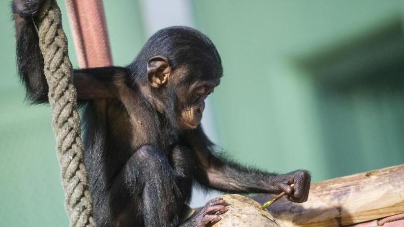"""Verhaltensforschung: Schimpansen nutzen ganzes """"Werkzeugset"""""""