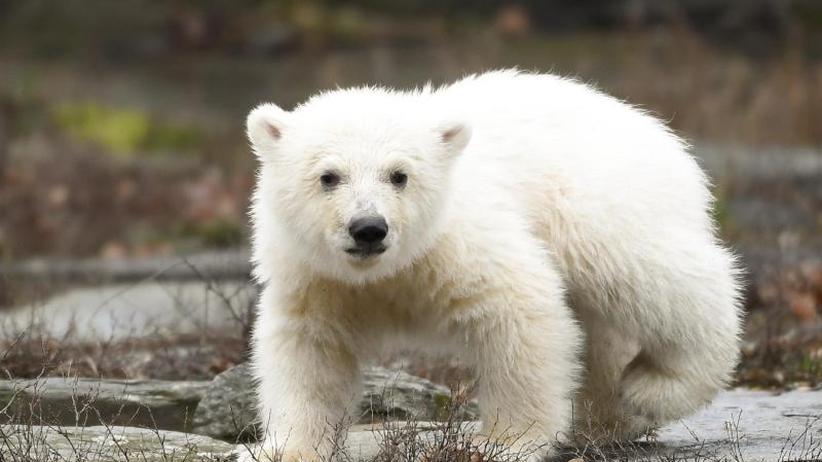 Tierpark Berlin: Kleiner Eisbär löst Besucheransturm aus