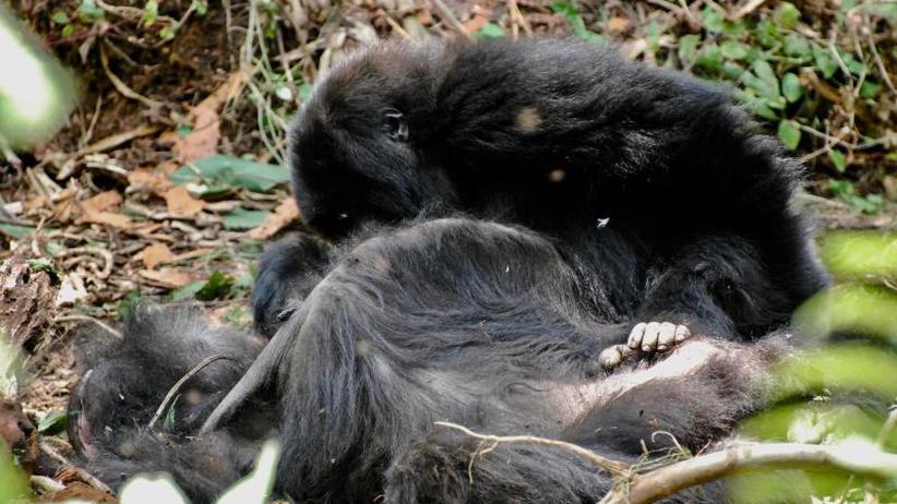 Zeichen des Kummers?: Umgang mit dem Tod: Gorillas zeigen besonderes Verhalten