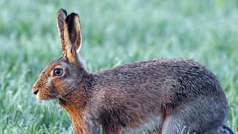 Bestand ist stabil: Den Hasen hat das trockene Frühjahr gut getan