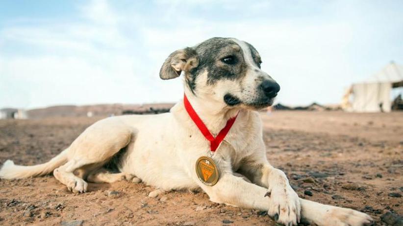 Lauf, Cactus: Streunender Hund begleitet Sahara-Ultramarathon