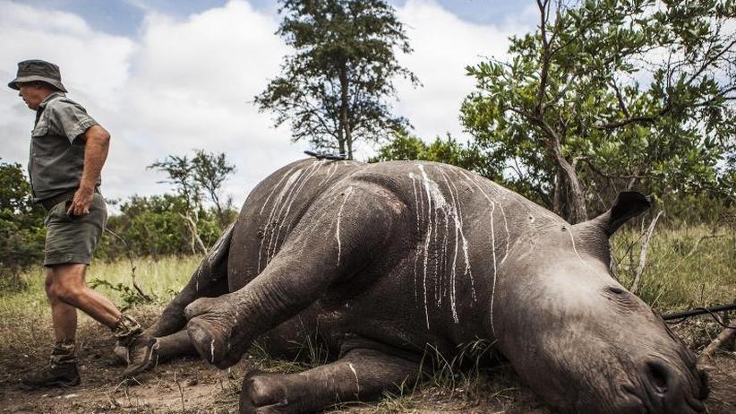 Für Verkauf in Südostasien: Polizei in Südafrika beschlagnahmt 167 Rhinozeros-Hörner