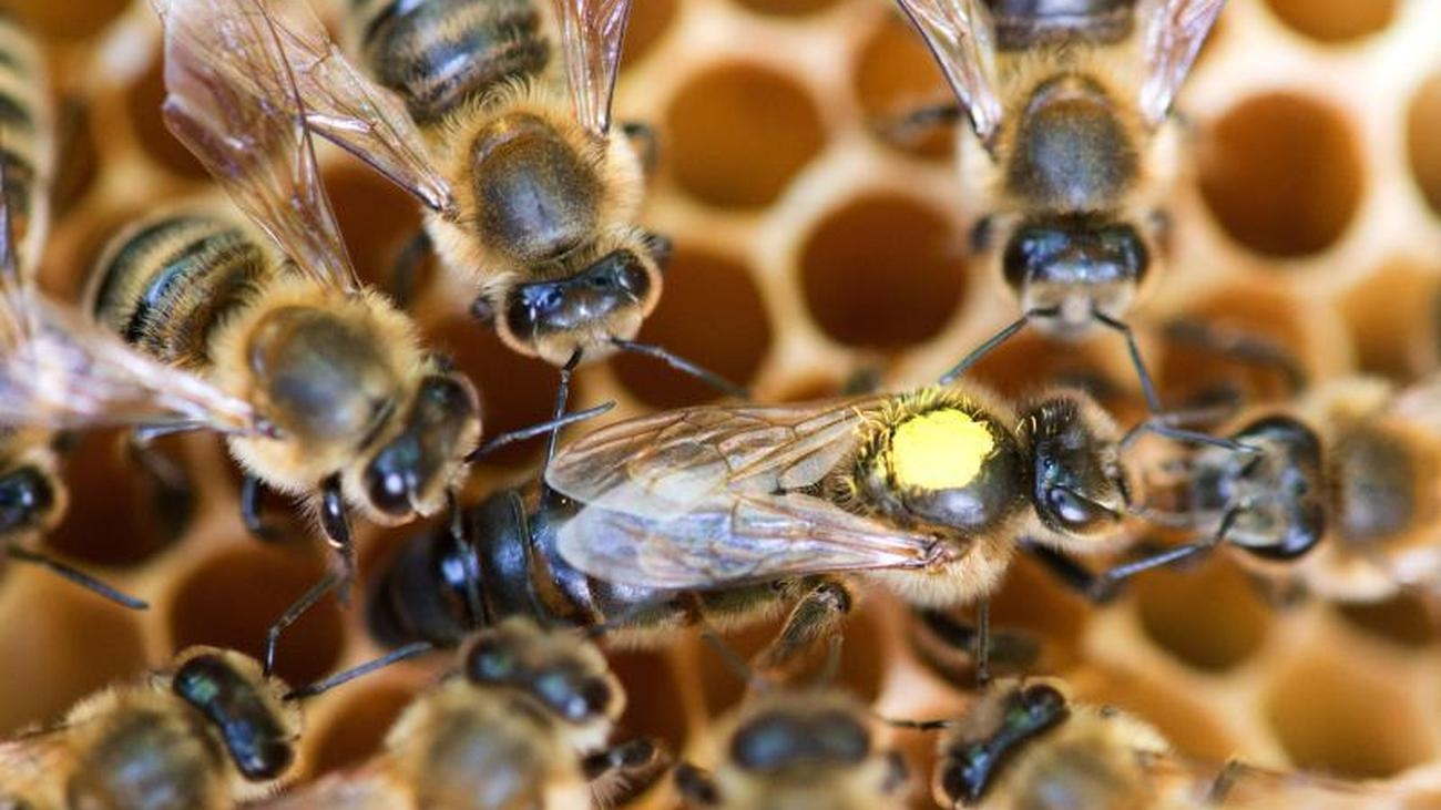Trend hobby: To protect the bees: Experts call for