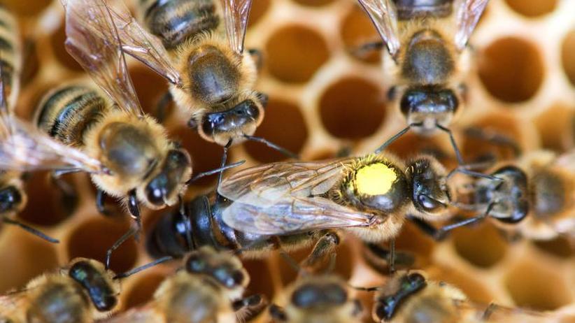 Trend-Hobby: Zum Schutz der Bienen: Experten fordern Imkerei-Schein