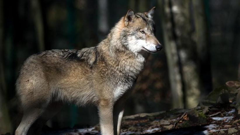 Zwischen Angst und Resignation: Leben mit dem Wolf im Osten