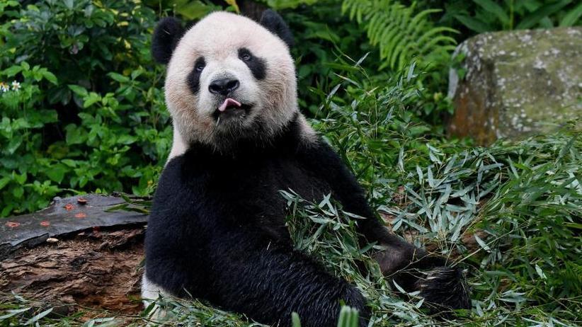 App für Artenschutz: China will Pandas mit App an ihren Gesichtern erkennen