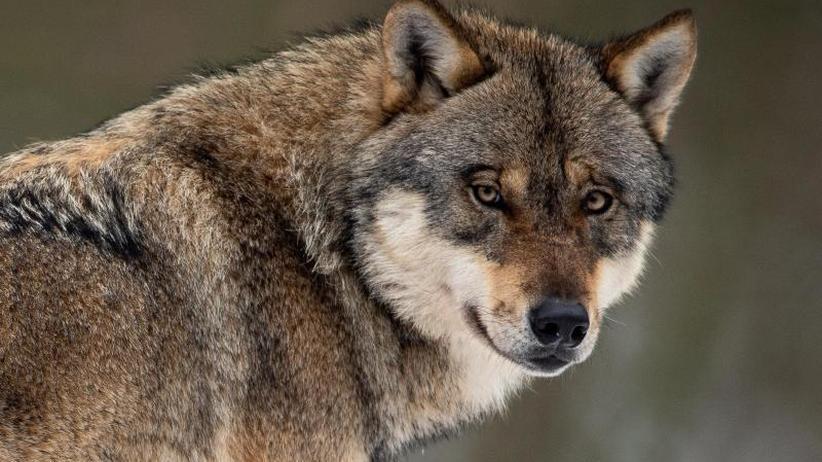 """""""Lex Wolf"""" im Kabinett: Abschuss von Problemwölfen - Schäfer loben Regierungspläne"""