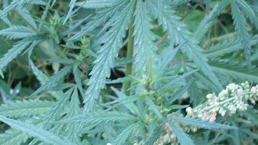 Hanfpflanzen in Ostasien: Cannabis-Konsum vor 2500 Jahren