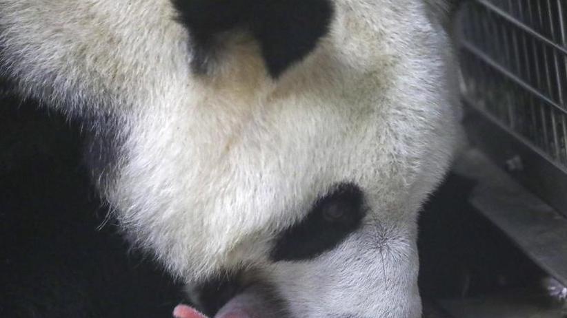 Große Freude: Riesenpanda-Zwillinge in belgischem Zoo zur Welt gekommen