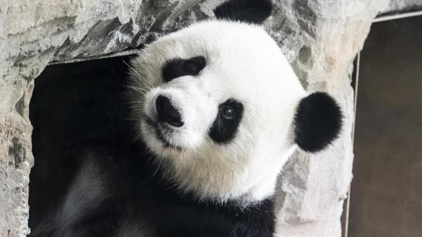 Schmächtig trächtig: Berliner Panda mit Mini-Babybauch