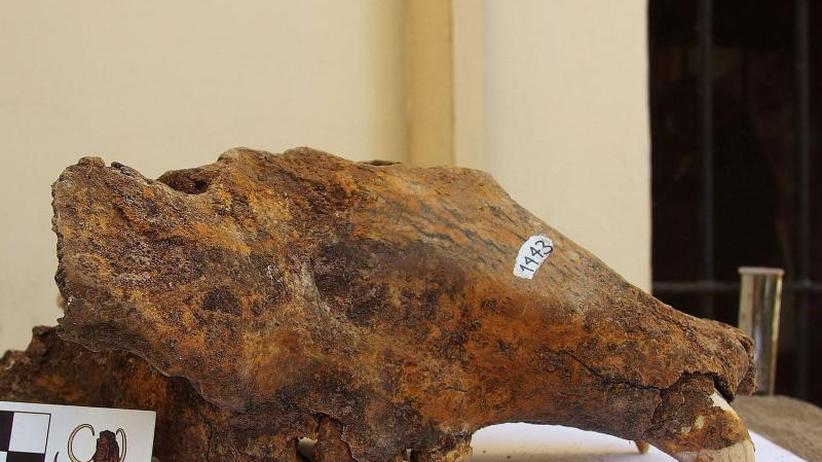 Mega-Bär der Urzeit: Höhlenbär starb vor allem wegen des Menschen aus
