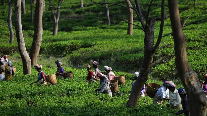 Studie von Oxfam: Kritik an Arbeitsbedingungen auf indischen Teeplantagen