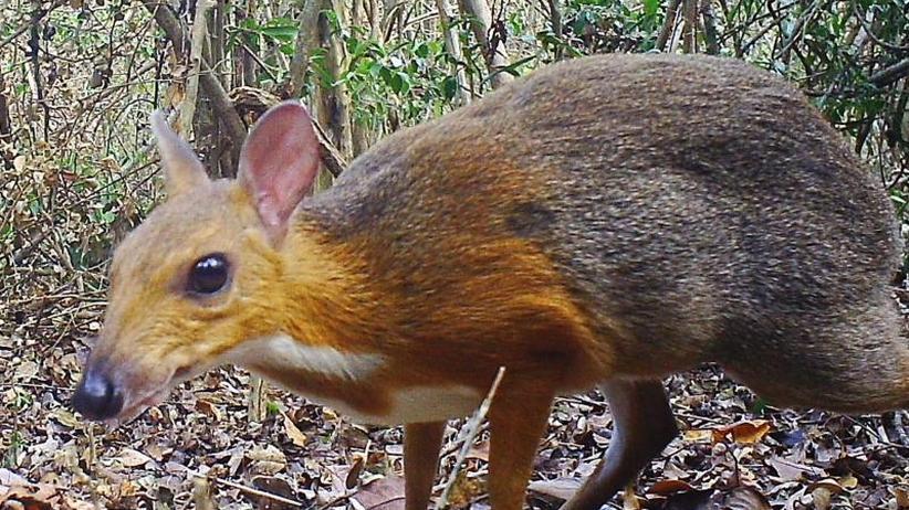 Vietnam-Kantschil: Jahrzehntelang verschwundene Hirschferkel-Art entdeckt