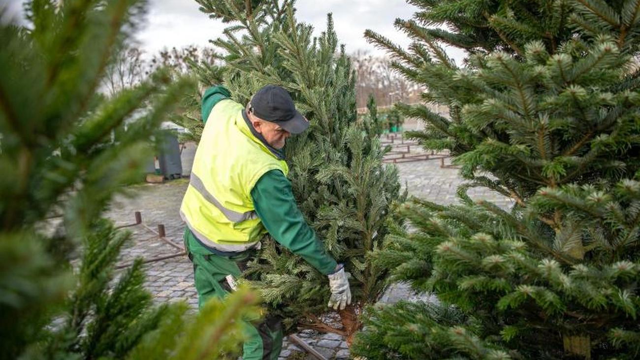Plastik ist keine Alternative: Weihnachtsbäume: Für die Umwelt kein Geschenk
